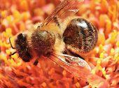 Macro shot of a honeybee in a flower poster