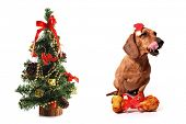 Canine Christmas on white background poster