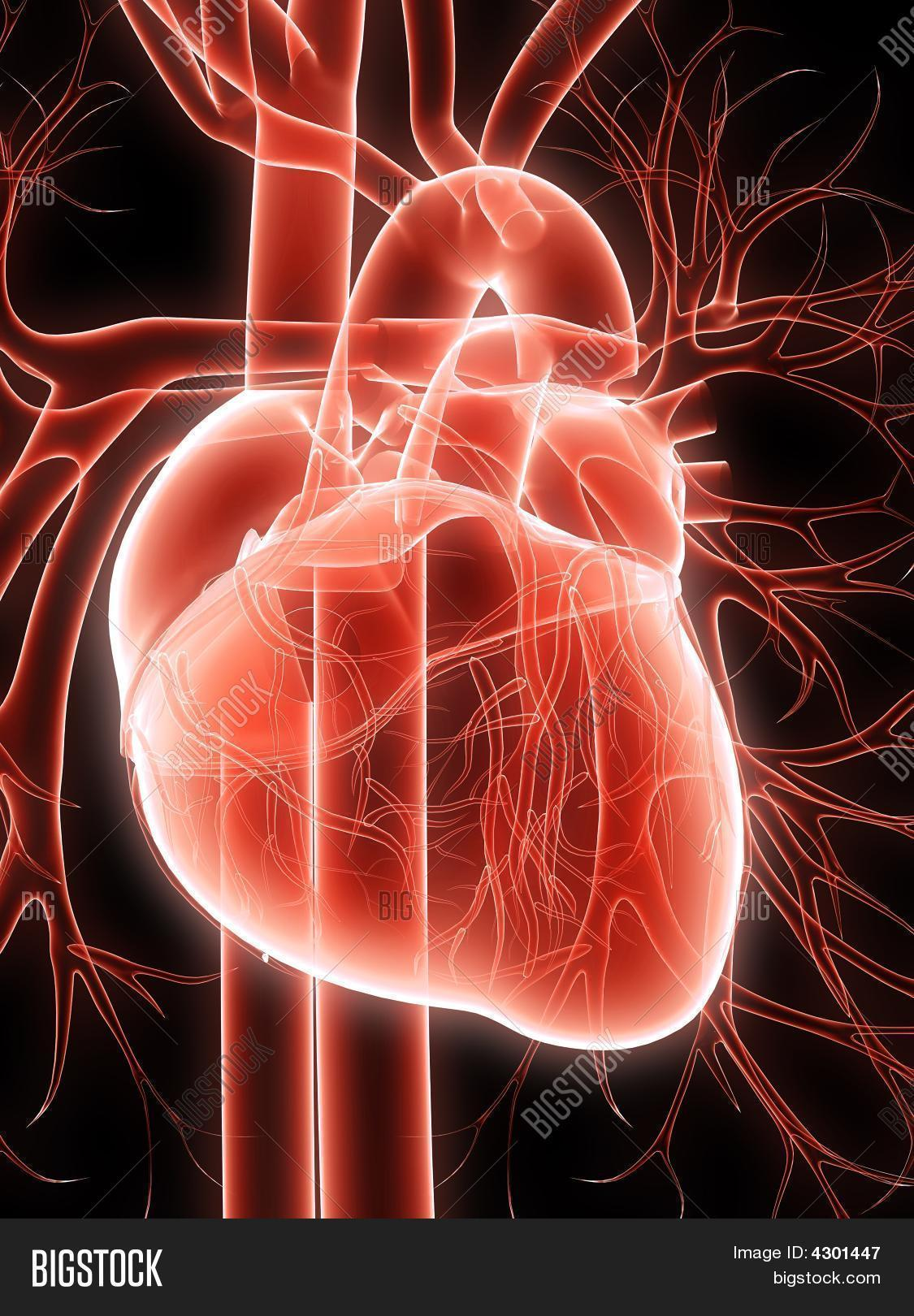 Human Heart Image Photo Free Trial Bigstock