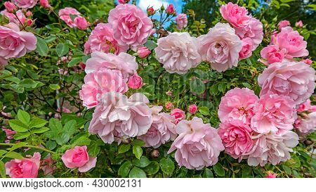 Blossoming pink roses in summer in the Netherlands