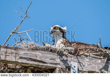 Osprey Sitting Contently In A Nest Made Of Branches Twigs And Sticks On A Square Platform High Up On