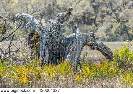 Dead Decaying Weathered Tree Stump In The Muddy Salt Marsh Surrounded By Dried Grasses And Fronds Cl