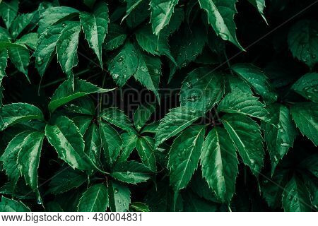 Dark Green Leaves With Rain Drop Pattern Background, Natural Background And Wallpaper. Black Tropica
