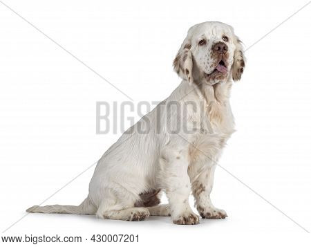Cute Clumber Spaniel Dog Pup, Sitting Up Side Ways. Looking Away From Camera With The Typical Droopy