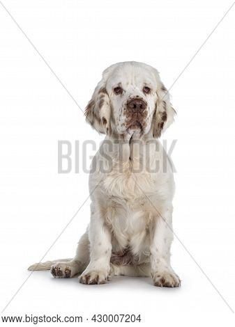 Cute Clumber Spaniel Dog Pup, Sitting Up Facing Front. Looking Towards Camera With The Typical Droop