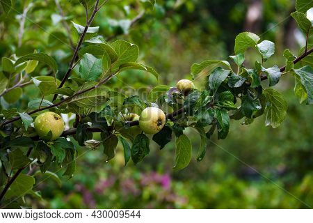 Close-up Of Apple Tree Branch With Leaves And Green Apples Ripening On It. Autumn Background, Garden