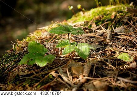 strawberry bush with young green leaves growing in spring forest