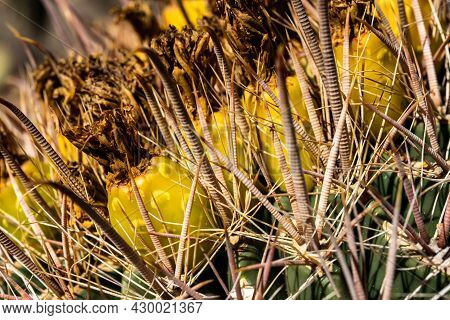 Rigid Spines Protect The Drying Flowers Of A Barrel Cactus In Saguaro National Park