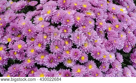 Raindrops On The Petals Of The Bushy Aster (aster Dumosus 'rosenwichtel') Pink Flower With A Yellow
