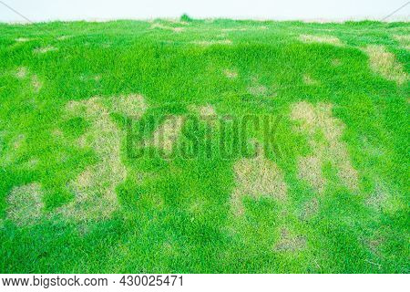 Dead Grass Of The Nature Background. A Patch Is Caused By The Destruction Of Fungus Rhizoctonia Sola