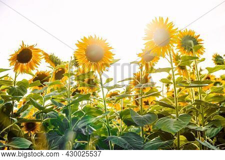 Stage Photograph Of The Blooming Sun, Lots Of Sunflowers In The Evening Sun, Beautiful Landscape Wit