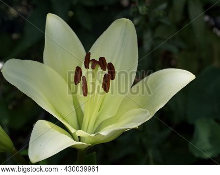 Single Large Lily Flower. A Flower With Large Petals.