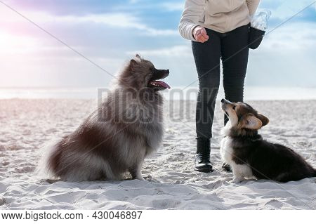 Dogs Follow Commands. Obedience By The Sea. Selective Focus.