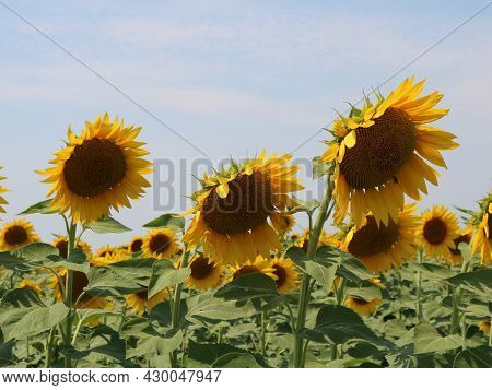 Ripening Sunflower Heads In A Farm Field, Close-up Of Several Sunflower Inflorescences Against A Blu