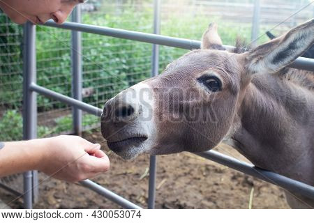 Close-up Of A Donkey In Captivity. Contact Zoo. Feeding Animals By Visitors To The Menagerie. Donkey