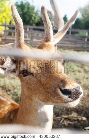 Close-up Of A Deer At The Petting Zoo. Feeding The Animal With Goodies. Tamed And Domesticated Wild
