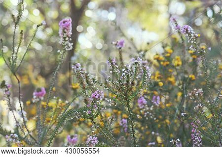 Australian Spring Nature Background Of Colorful Native Wildflowers In A Sydney Woodland Understory.