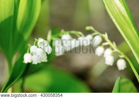 Lily Of The Valley Flowers In The Green Spring Forest, Natural Seasonal Background