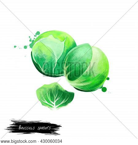 Brussels Sprouts Vegetable Isolated On White. Hand Drawn Illustration Of Leafy Green Vegetables Cabb