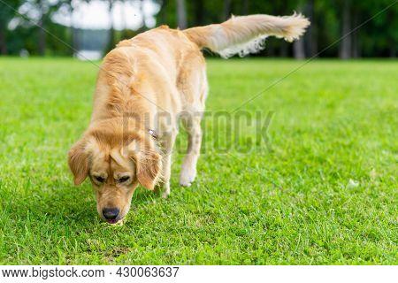 Walking Golden Retriever Dog On Green Grass Near Forest On A Summer Day.labrador Retriever Portrait