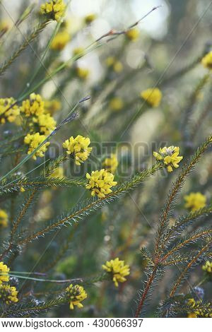 Yellow Flowers Of The Australian Native Heath Phyllota, Phyllota Phylicoides, Family Fabaceae, Growi