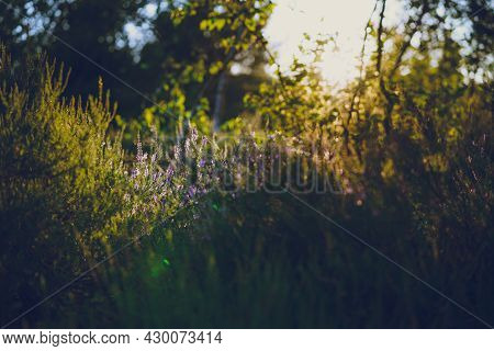 Lavender. Vibrant Pink Common Heather (calluna Vulgaris) Blossoming Outdoors. Beautiful Botanical Ph