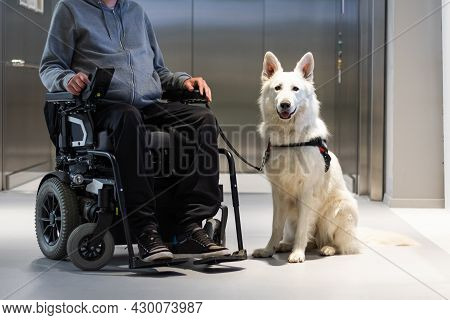 Service Dog Giving Assistance To Disabled Person On Wheelchair.