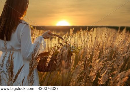 A Woman Gathering Herbs In A Wicker Basket In The Long Grass. Sunset - Idyllic Scenery. Alternative