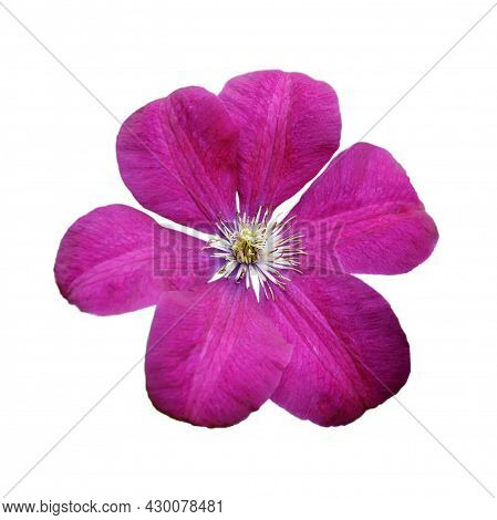 Close Up Of Pink Clematis Isolated On White Background
