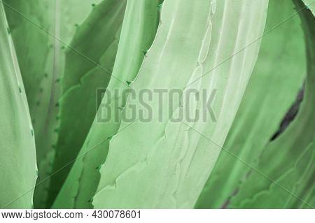 Fresh Green Aloe Vera Leaves Texture As Abstract Natural Background. Aloe Vera Plant Natural Backgro