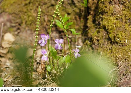 Viola flowers and young horsetail sprouts in spring forest. Close up photo