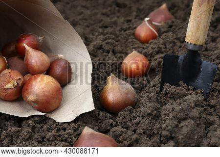 Planting Tulip Bulbs In The Ground In The Fall In Your Garden. How To Plant Tulips