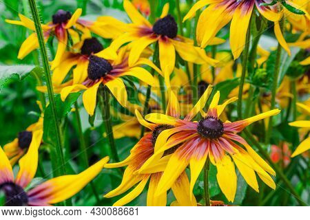 Flower Background For Postcards. Bright Yellow Orange Flowers Rudbeckia Hairy (perennial Herbaceous