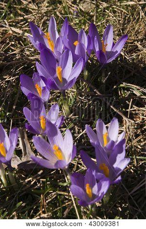 wild crocus flower spring