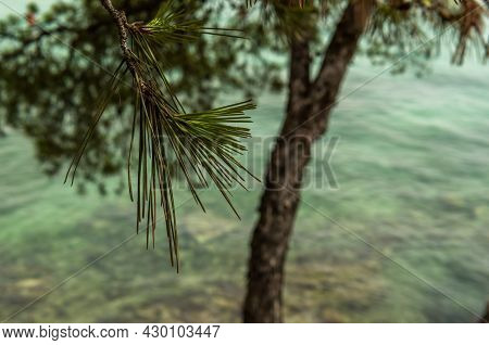Close-up Of A Mediterranean Pine Leaf With The Mediterranean Sea Out Of Focus In The Background
