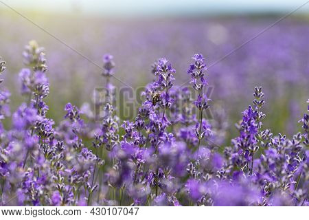 Close Up Of Blossoming Lavender In A Field.