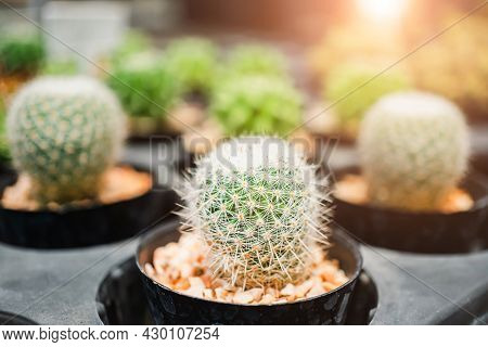 Small Cacti Are Planted In Black Pots, Decorated With Warm Sunlight, Beautiful Cactus In A Pot Place