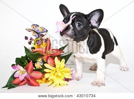 French Bulldog And Butterflies