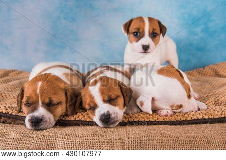 Group Of Jack Russell Terrier Puppies In Front Of Blue Background