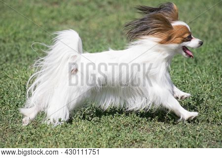 Continental Toy Spaniel Puppy Is Running On A Green Grass In The Summer Park. Pet Animals. Purebred