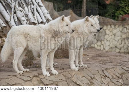 Three Wild Alaskan Tundra Wolves Are Standing On The Gray Rocks. Canis Lupus Arctos. Polar Wolf Or W
