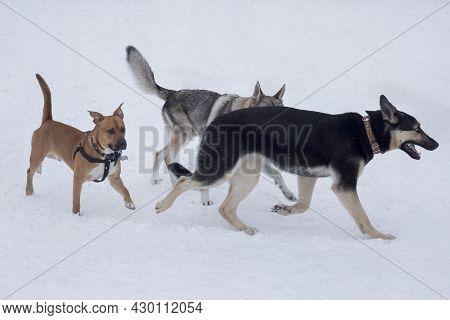 Czechoslovak Wolfdog, East European Shepherd And American Pit Bull Terrier Are Running On A White Sn