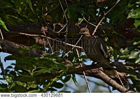 White-winged Dove Perched In An Elm Tree In Canyon, Texas In The Panhandle Near Amarillo In The Panh