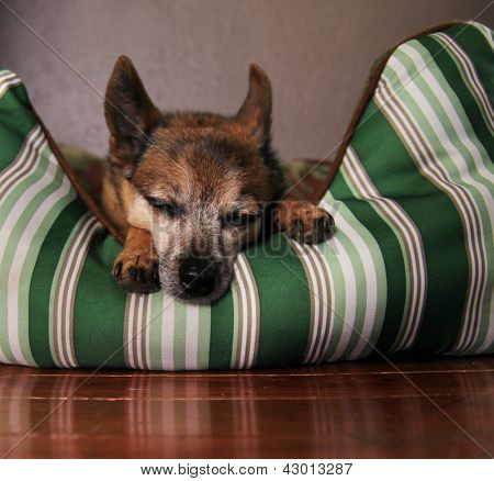 a cute  chihuahua taking a nap poster