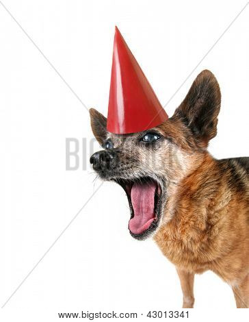 a cute chihuahua panting with his tongue out with a birthday hat on