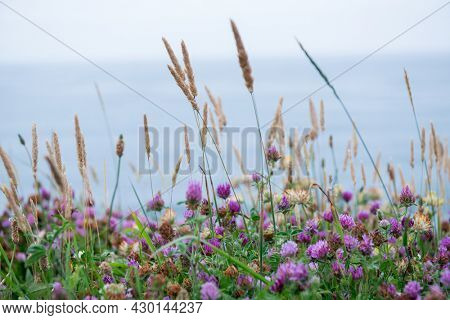 Clover spikelets of grass. Herbs. Motley grass growing at Atlantic Ocean coast in France
