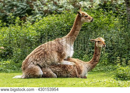Vicunas, Vicugna Vicugna, Relatives Of The Llama Which Live In The High Alpine Areas Of The Andes