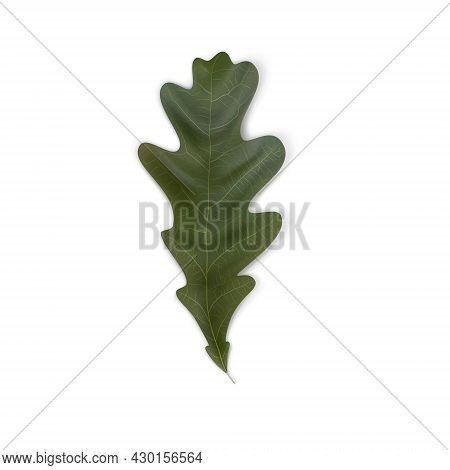 Green Oak Leaf. Natural Plant Object Collection. A Symbol Of Ecology, Strength And Health. Vector Me