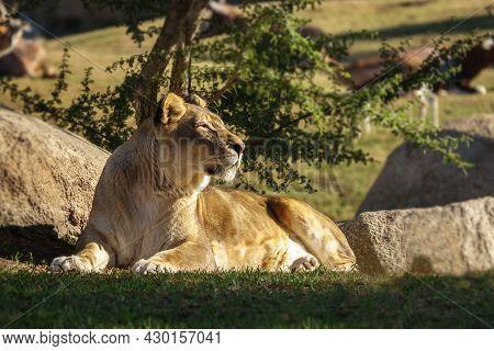 Female African Lion, Panthera Leo Bleyenberghi, Feline