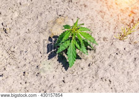 Cannabis Plant Is Growing. The Concept Of A Young Fresh Ganja On A Legal Indoor Recreational Farm